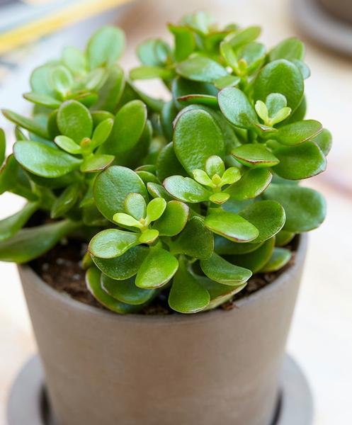 Plante de Jade